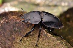 Coleoptera шага Стоковая Фотография