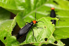 Coleoptera Beetle Stock Photography
