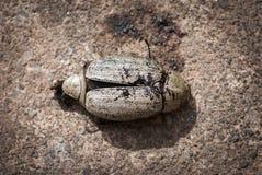 Coleoptera on cement floor Stock Photo