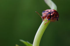 Leisure tortoise beetle. Coleoptera Chrysomelidae Cassidinae insects Stock Images