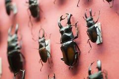 coleopteron έντομα Στοκ Φωτογραφία