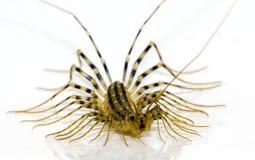 Coleoptrata Scutigera Стоковые Фотографии RF