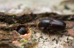 Coleotteri della corteccia del faggio bianco, carpini dello Scolytus su legno fotografia stock libera da diritti