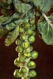 Coles de Bruselas (brassica oleracea) Fotos de archivo libres de regalías