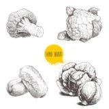 Coles dibujadas mano del estilo del bosquejo fijadas Cabezas de las coles, coliflor, bróculi y col de China Fotografía de archivo