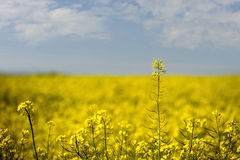 Coleseed. A field of coleseed against a blue sky stock photo