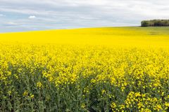 Coleseed field with blooming yellow flowers in Scottish borders. Rapeseed field with blooming yellow flowers in Scottish borders royalty free stock photos