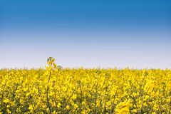 Coleseed. Field with blue sky stock image