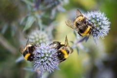 Coleta das abelhas deliciosa, doce, néctar em flores azuis no dia de verão ensolarado Foco seletivo imagem de stock