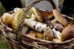 Coletando cogumelos Foto de Stock Royalty Free