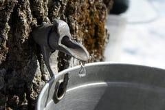Coletando a seiva para produzir o xarope de bordo Fotografia de Stock Royalty Free