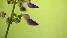 Coleus μακρο υπόβαθρο κινηματογραφήσεων σε πρώτο πλάνο λουλουδιών bokeh φιλμ μικρού μήκους