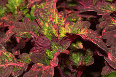 coleus φυτά Στοκ φωτογραφία με δικαίωμα ελεύθερης χρήσης