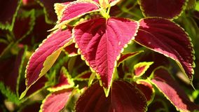 Coleus φυτού στενός επάνω τοπίου κήπων φύλλων ηλιοφώτιστος απόθεμα βίντεο