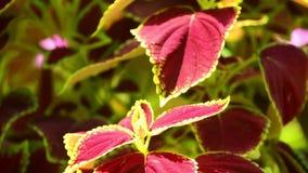 Coleus φυτού στενός επάνω τοπίου κήπων φύλλων ηλιοφώτιστος φιλμ μικρού μήκους
