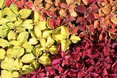 coleus φυτό Στοκ Φωτογραφίες