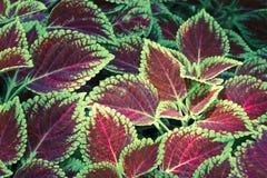 Coleus φύλλα (χρωματισμένο nettle, nettle φλογών) Στοκ Εικόνες