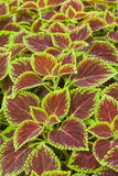 Coleus φύλλα (χρωματισμένο nettle, nettle φλογών) Στοκ φωτογραφίες με δικαίωμα ελεύθερης χρήσης