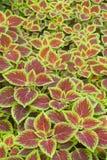 Coleus φύλλα (χρωματισμένο nettle, nettle φλογών) Στοκ εικόνα με δικαίωμα ελεύθερης χρήσης