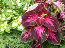 Coleus цветет (покрашенная крапива, крапива пламени) Стоковые Изображения RF