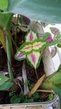 coleus zdjęcie stock