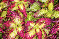 Coleus Foto de Stock Royalty Free