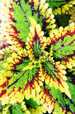 Coleus 2 Royalty Free Stock Photo