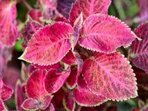 Coleus. Red Coleus in the garden Stock Image