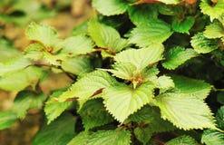 Coleus. Fresh coleus plants grow in field Stock Photography