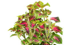 Coleus Stock Photography