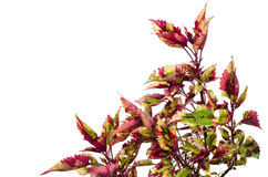 Coleus Photographie stock