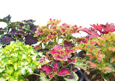 Coleus. In a pot isolated on white background Royalty Free Stock Photography