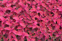 coleus Fotos de Stock