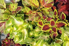 Coleus Royalty Free Stock Image