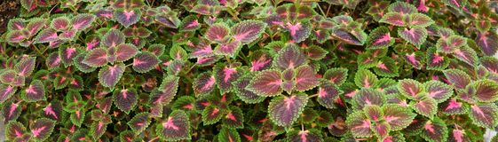 Coleus Background. Coleus Perennial Plant with Maroon Leaves Panorama stock photo