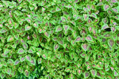Coleus background Stock Photography