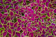 Coleus background Royalty Free Stock Images