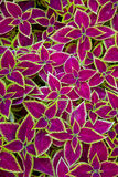 Coleus background Stock Images
