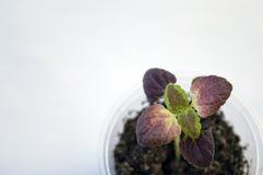 Coleus Black Dragon seedling background Royalty Free Stock Images