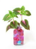 Coleus blumei. In glass jar containing crystal soil Stock Images
