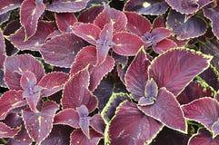 Coleus blumei. Solenostemon scuttelaroides Coleus blumei coleus Stock Image