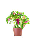 Coleus Blumei. In a pot isolated over white background Royalty Free Stock Photo