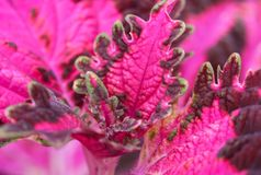 Coleus blumei Benth Stock Photo