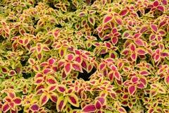 Coleus blumei field. In the garden Stock Image