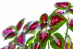 Coleus blumei with flower. Background can use the Internet, print advertising and design Royalty Free Stock Photos