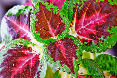 Coleus blumei with flower Stock Photos
