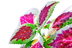 Coleus blumei with flower Royalty Free Stock Photos