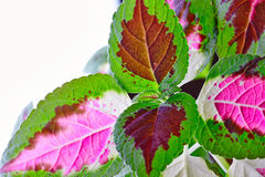 Coleus blumei with flower. Background can use the Internet, print advertising and design Royalty Free Stock Image