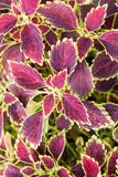 Coleus blumei with flower Stock Image