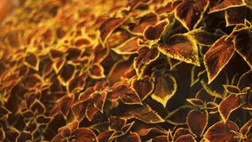 Coleus Blumei flower. Yellow and red house plant, floral footage in garden,. Botany stock video footage